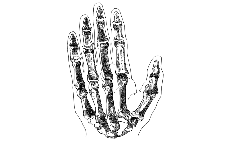 Anatomy of the hand: the bones.